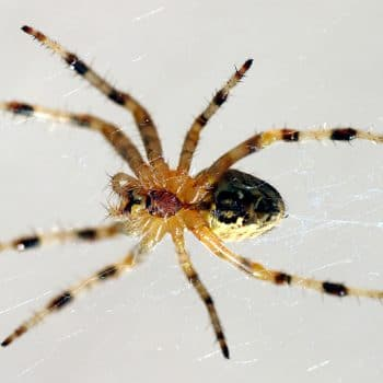 spiders in my house